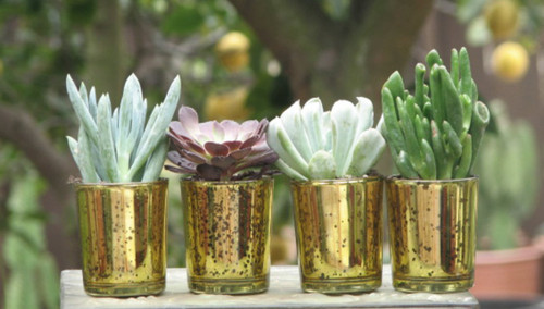 succulent plants in gold containers