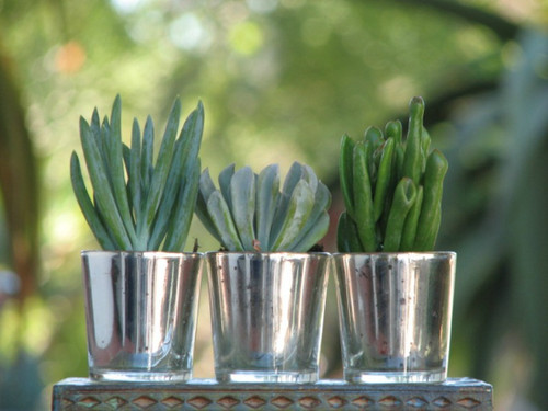 succulent plants in silver glass containers