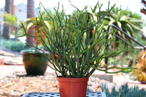 Euphorbia Tirucalli Pencil Cactus Plant