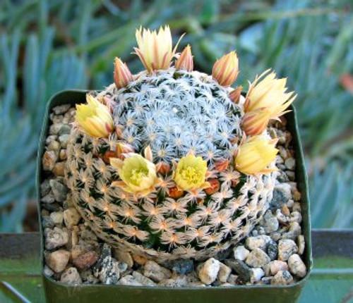 Mammillaria Duwei Cactus Plant