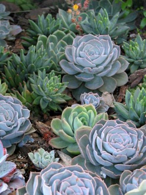 Succulent Rosette Designer Mix