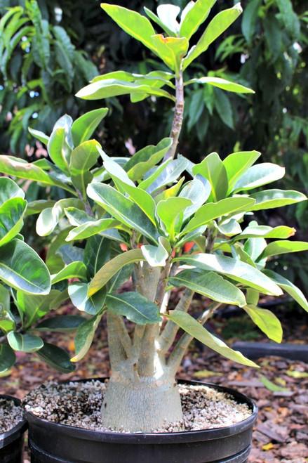 """Adenium Obesum """"Desert Rose"""" Large Succulent"""