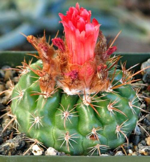 Parodia Quechua Cactus Plant