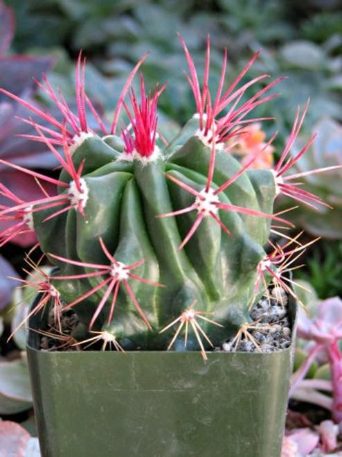 Ferocactus Pilosus Mexican Fire Barrel large cactus plant
