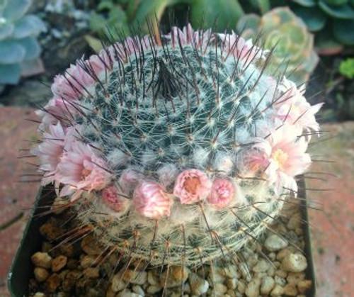 Mammillaria Ritteriana cactus plant
