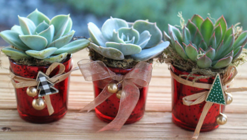 Three Red Potted Succulent Rosette Holiday Gift Free Shipping