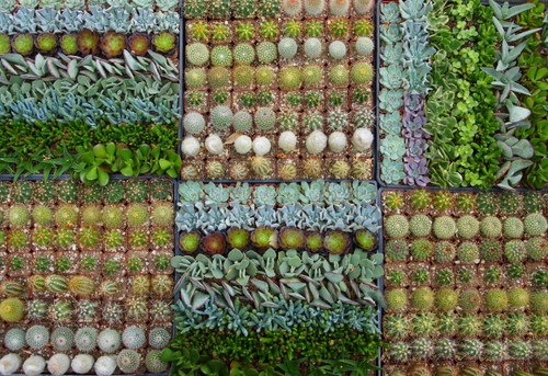 Cactus Succulents Mix 64 Mini Plants
