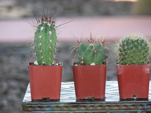 Three Little Cactus Plant Special