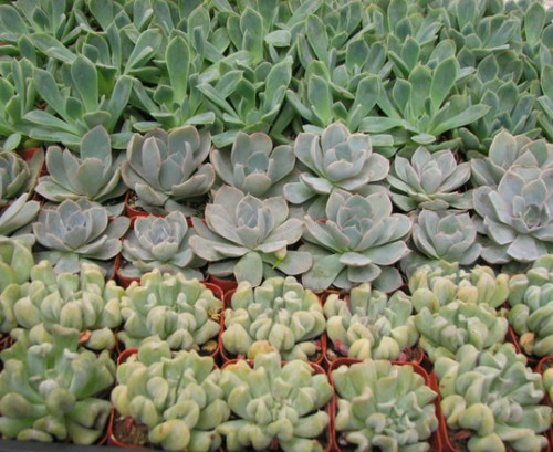 mini echeveria rosettes