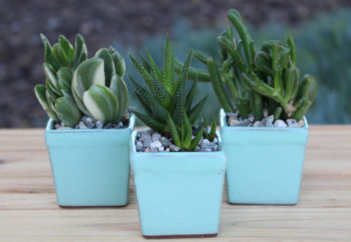 Mini Succulent Plants  10 Square Ceramic Pot