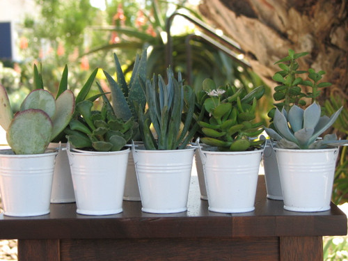 Wedding Favor Mini Succulent in White Bucket