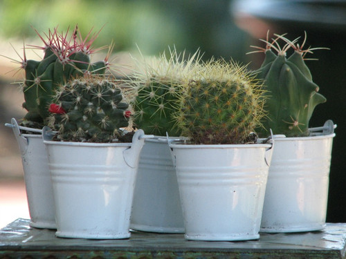 Cactus  Plants 20 Party Favors White Pots