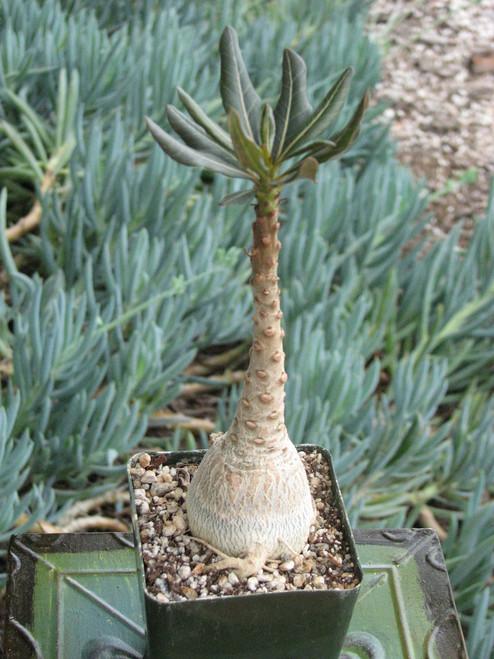 Adenium Socotranum Succulent Plant