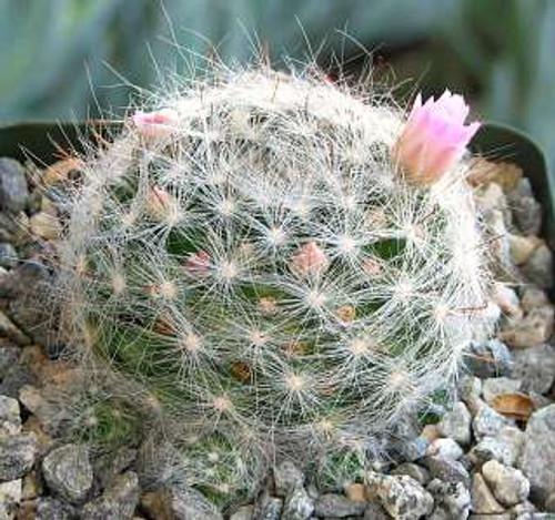 Mammillaria Glassii Cactus Plant