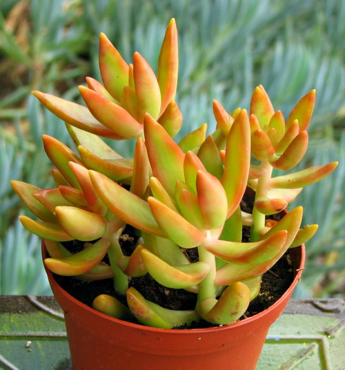 Orange Flame succulent plant