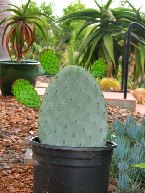 Opuntia preackly pear