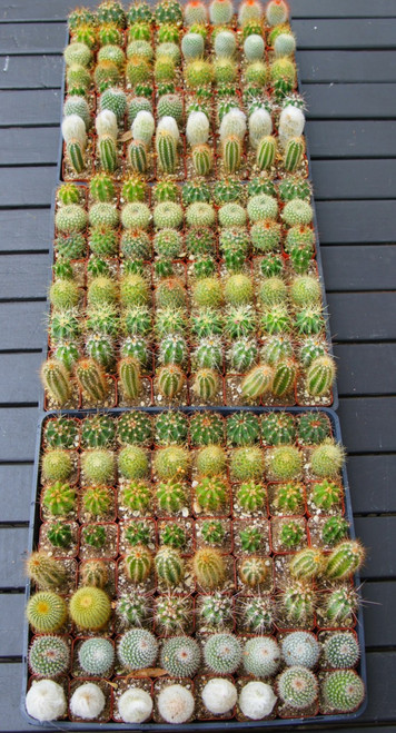 Cactus 64 Mini Plants for Events, Weddings, Parties
