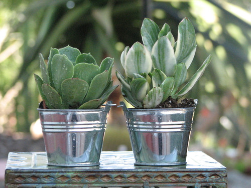 succulent plants in silver tin buckets