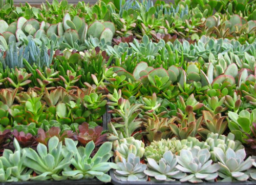 Mini Succulent Plant 10 Collection