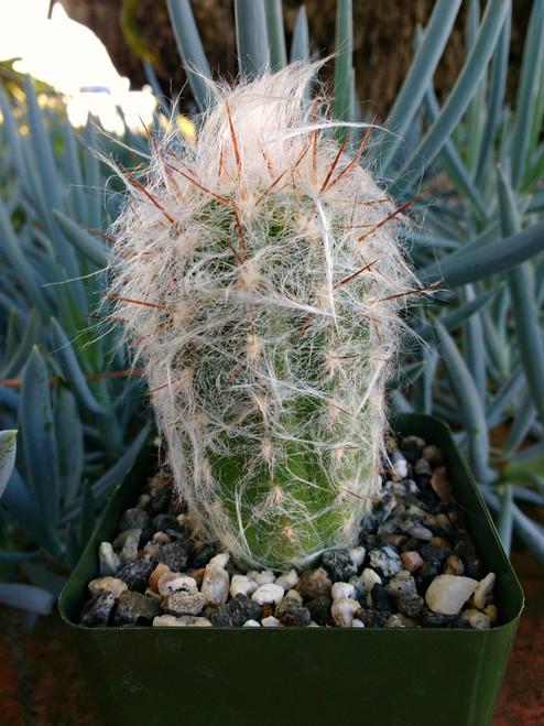 Oreocereus Trollii Cactus Plant