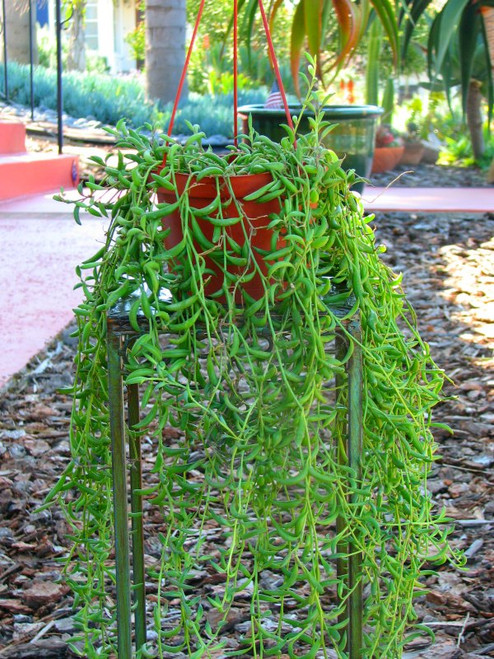 Hanging String of Bananas Succulent Plant