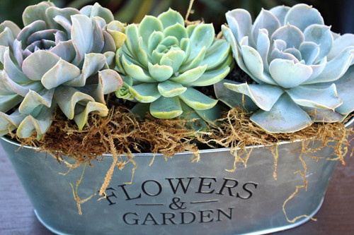 Beautiful succulent rosette garden in a custom metal container