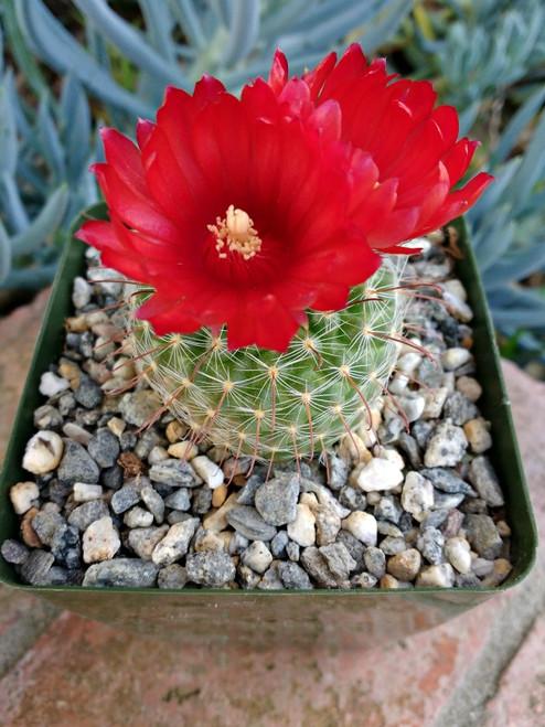 Parodia Sanguiniflora Cactus Plant