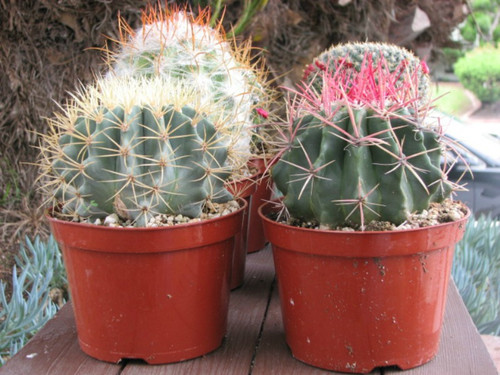 Two Oversized Cactus Plants