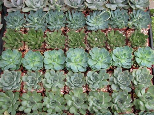 echeveria rosettes