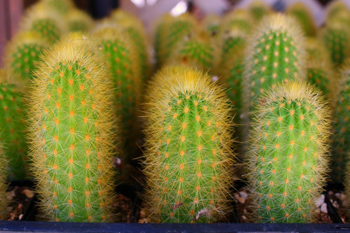 Cleistocactus mini Cactus Plant Special