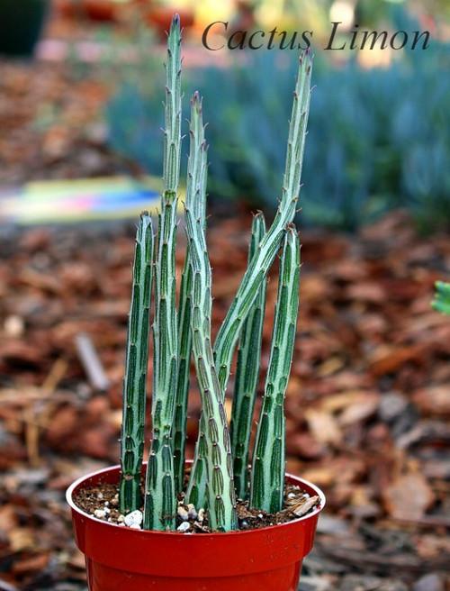 Senecio Stapeliiformis Succulent Plant