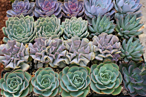 Echeveria Rosettes 25  Plants 4 inch Wedding Centerpieces