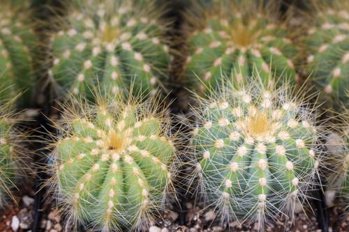 Notocactus Magnificus Cactus Plant 2 inch pot