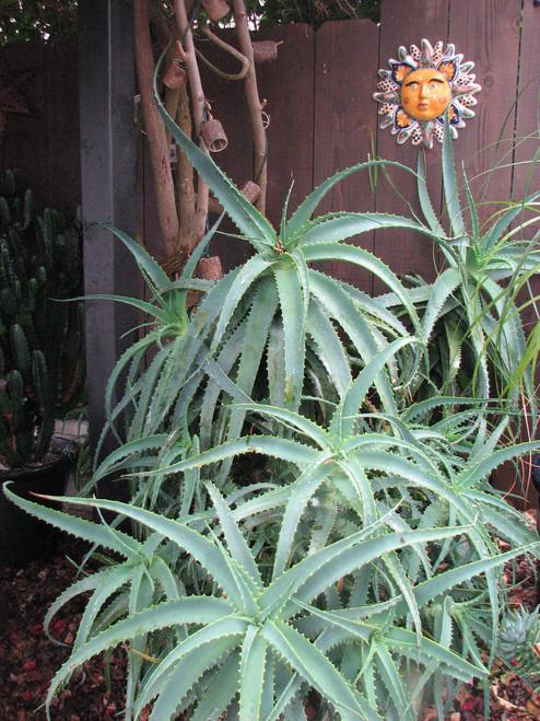 Aloe spinossisima clump