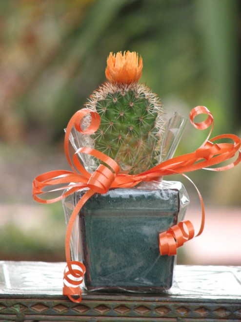 Little Cactus Potted Gift Plant