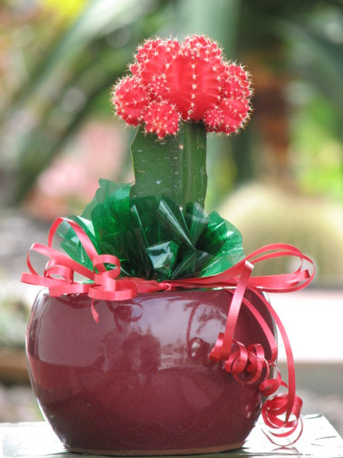 Grafted  Red Moon Cactus Gift Plant Free Shipping