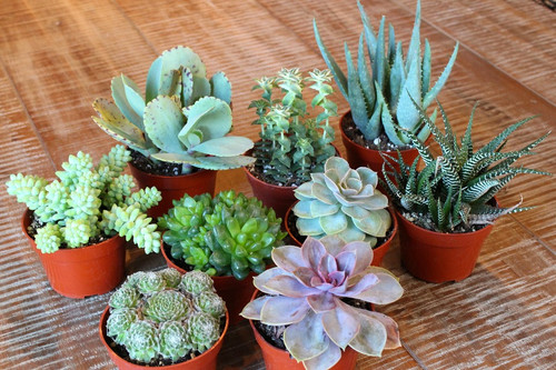 Mixed Succulent Collection