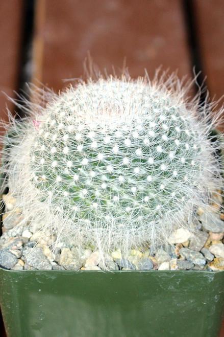 Mammillaria Hahniana Cactus Plant