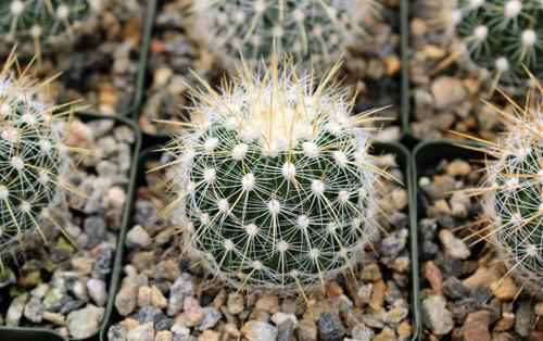 Echinofossulocactus Albatus cactus plant