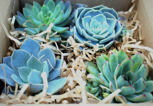 Farm Fresh Boxed Mini Rosette Succulent Collection