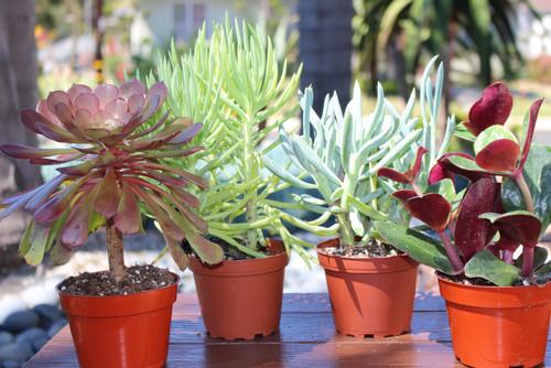 succulent plants, landscape plants