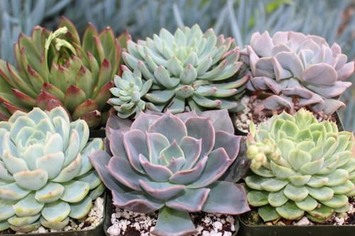 Succulent Rosettes 6 Plants in 4 inch pots