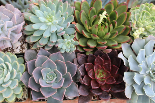 Succulent Rosettes 8 Plants in 4 inch pots