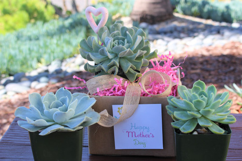 Blue - blush three Rosettes Succulent Plants, gift combo, Mothers Day gift