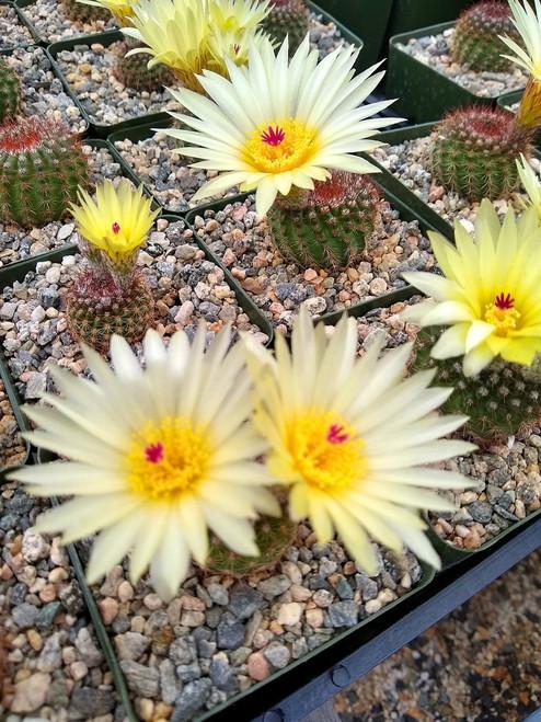 Notocactus Vanvlietii Cactus Plant