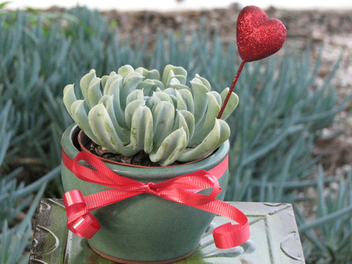 Potted rosette plant