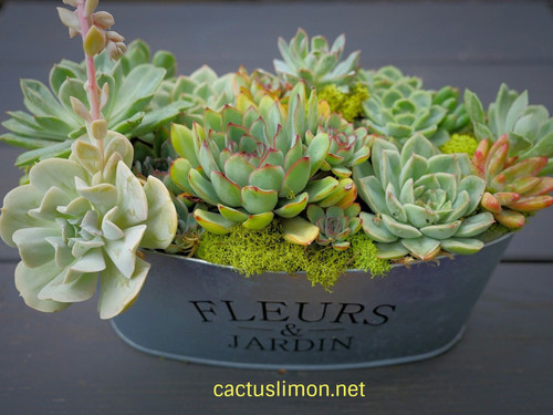 Succulent Design Rosette Gift Planter