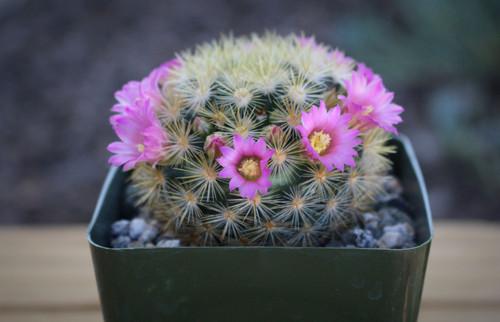 Mammillaria Laui v. Subducta Cactus Plant