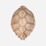 Faux Hawksbill Turtle Shell