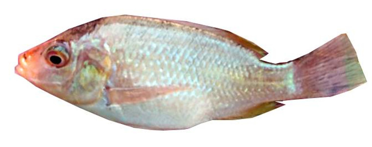 Red Mossambicus Tilapia Fish  - 10 Fingerlings